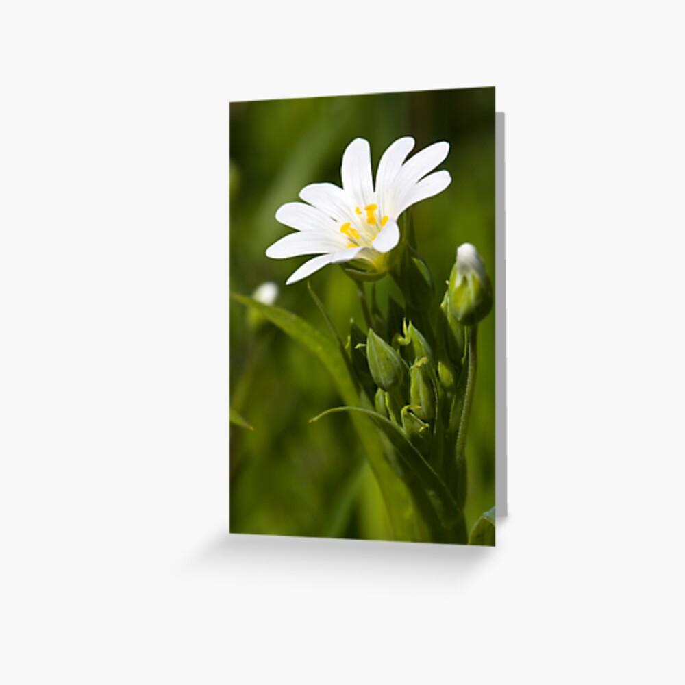 Greater Stitchwort (Stellaria palustris) Greeting Card