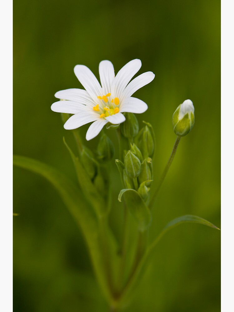 Greater Stitchwort (Stellaria palustris) by SteveChilton