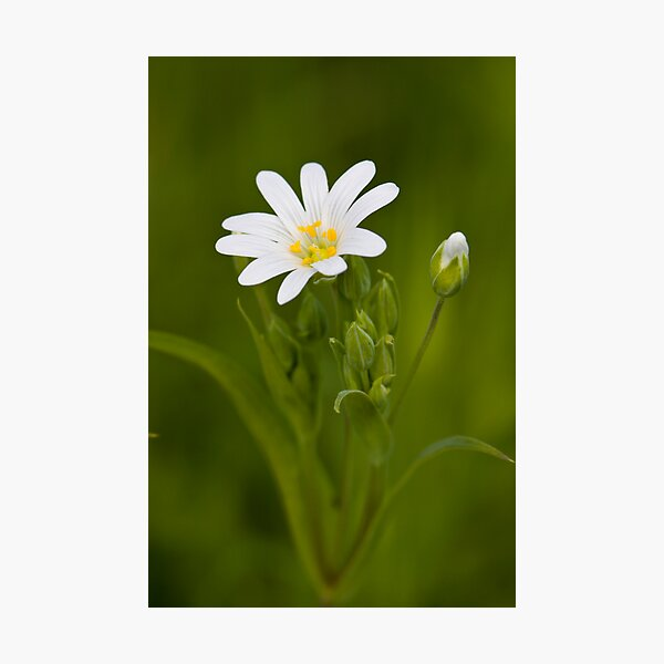 Greater Stitchwort (Stellaria palustris) Photographic Print