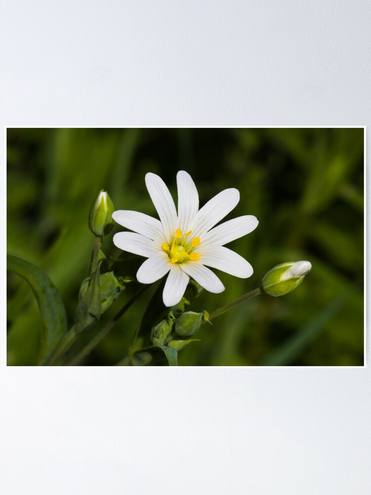 Alternate view of Greater Stitchwort (Stellaria palustris) Poster