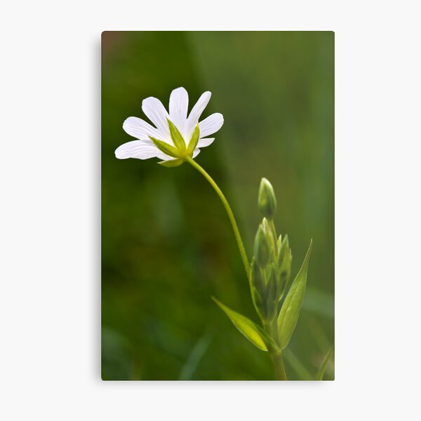 Greater Stitchwort (Stellaria palustris) Metal Print