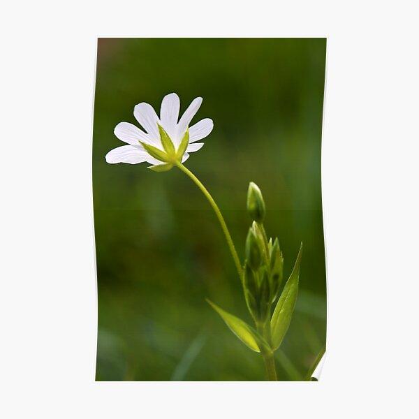 Greater Stitchwort (Stellaria palustris) Poster