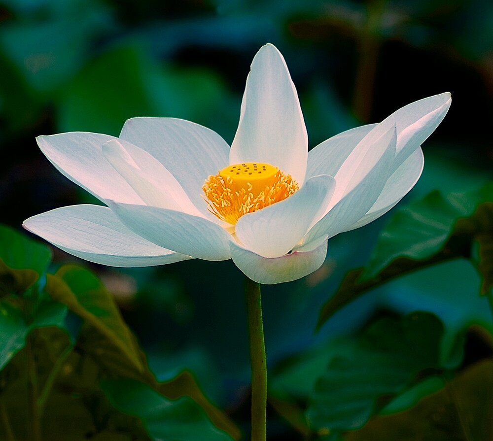 Lily with a Glow by Mukesh Srivastava