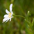 Greater Stitchwort (Stellaria palustris) by Steve Chilton