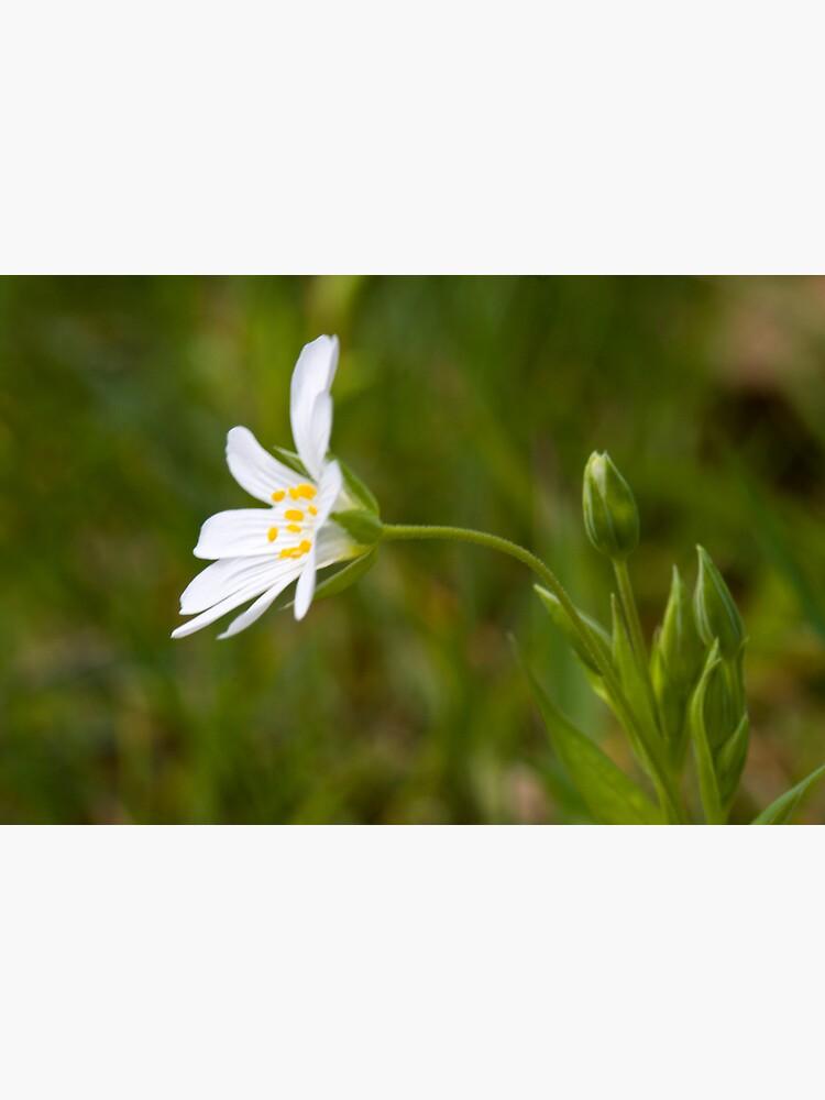 Greater Stitchwort (Stellaria palustris) by SteveChilton