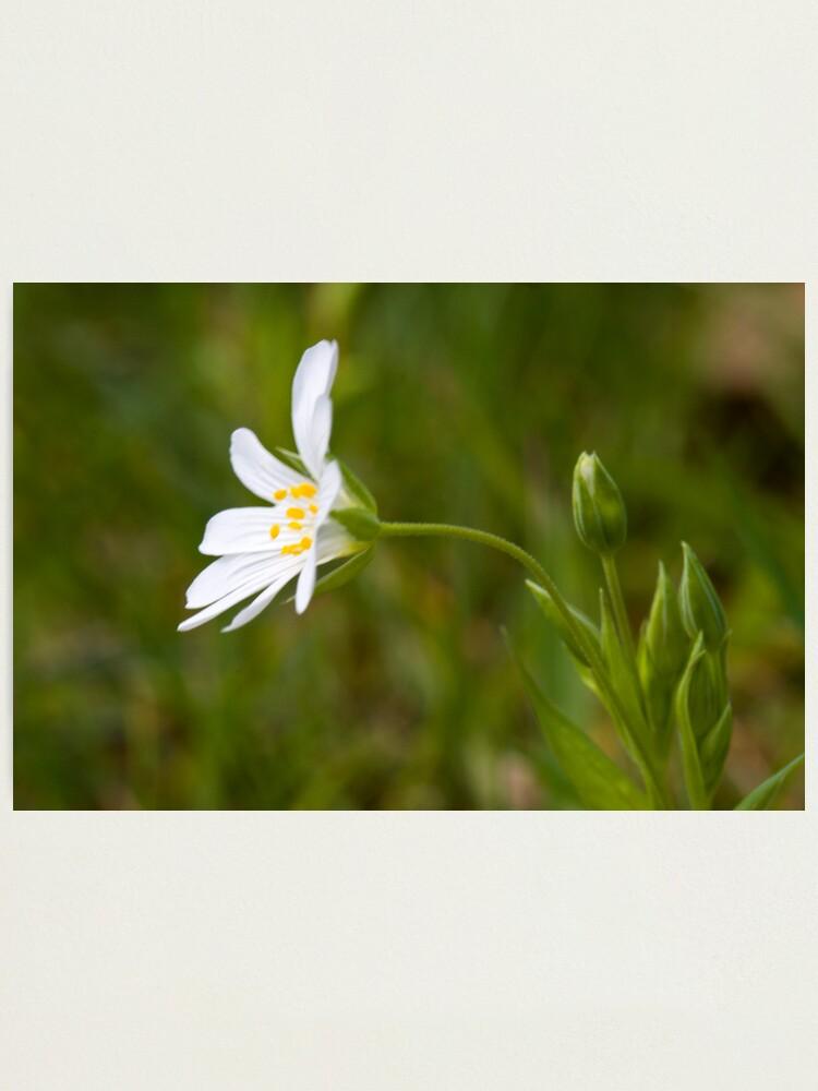 Alternate view of Greater Stitchwort (Stellaria palustris) Photographic Print