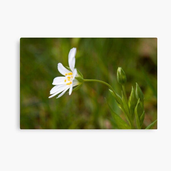 Greater Stitchwort (Stellaria palustris) Canvas Print