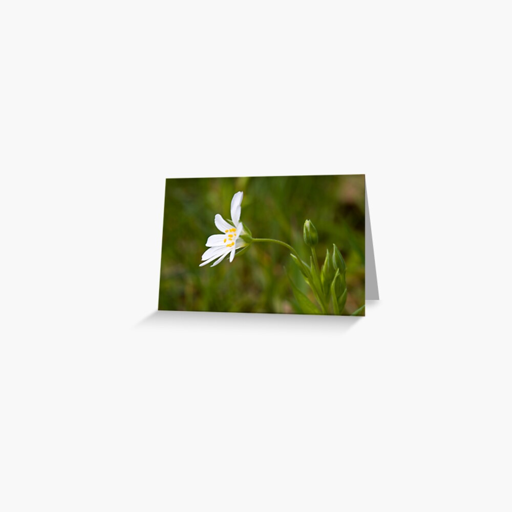 Greater Stitchwort (Stellaria palustris) Greeting Card