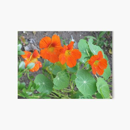 Orange Nasturtiums Photo Plants Pretty Garden Art Board Print