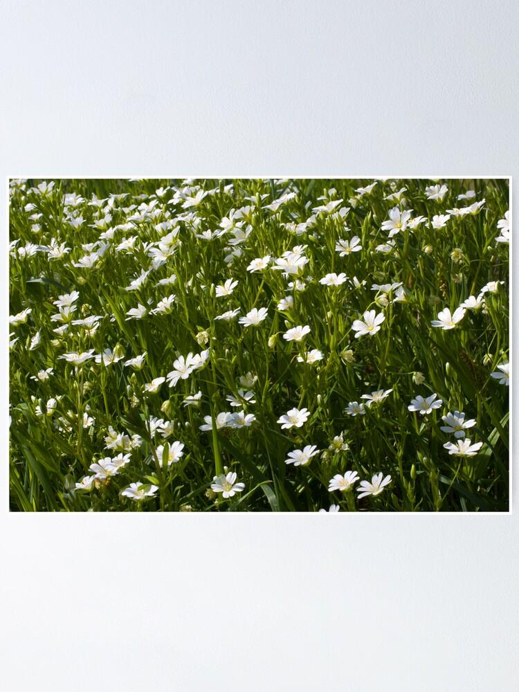 Alternate view of Greater Stitchwort (Stellaria palustris) Poster