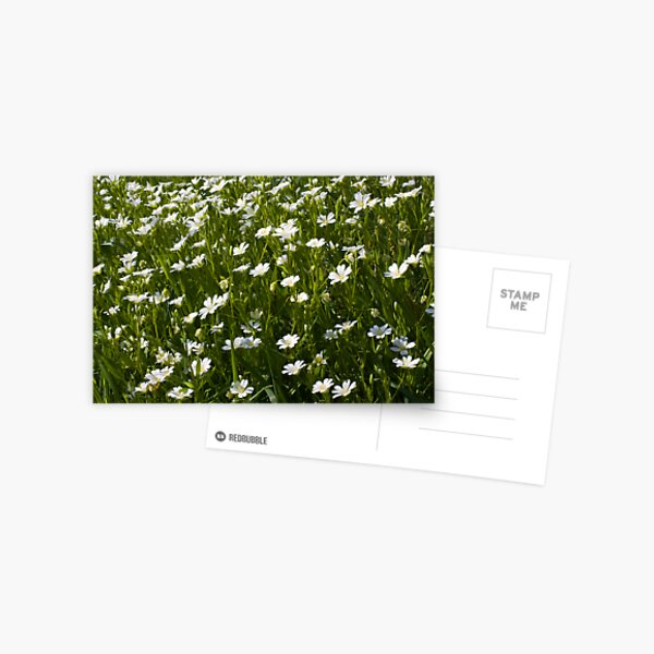 Greater Stitchwort (Stellaria palustris) Postcard