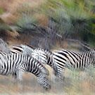 Dazzle of Zebra by quentinjlang