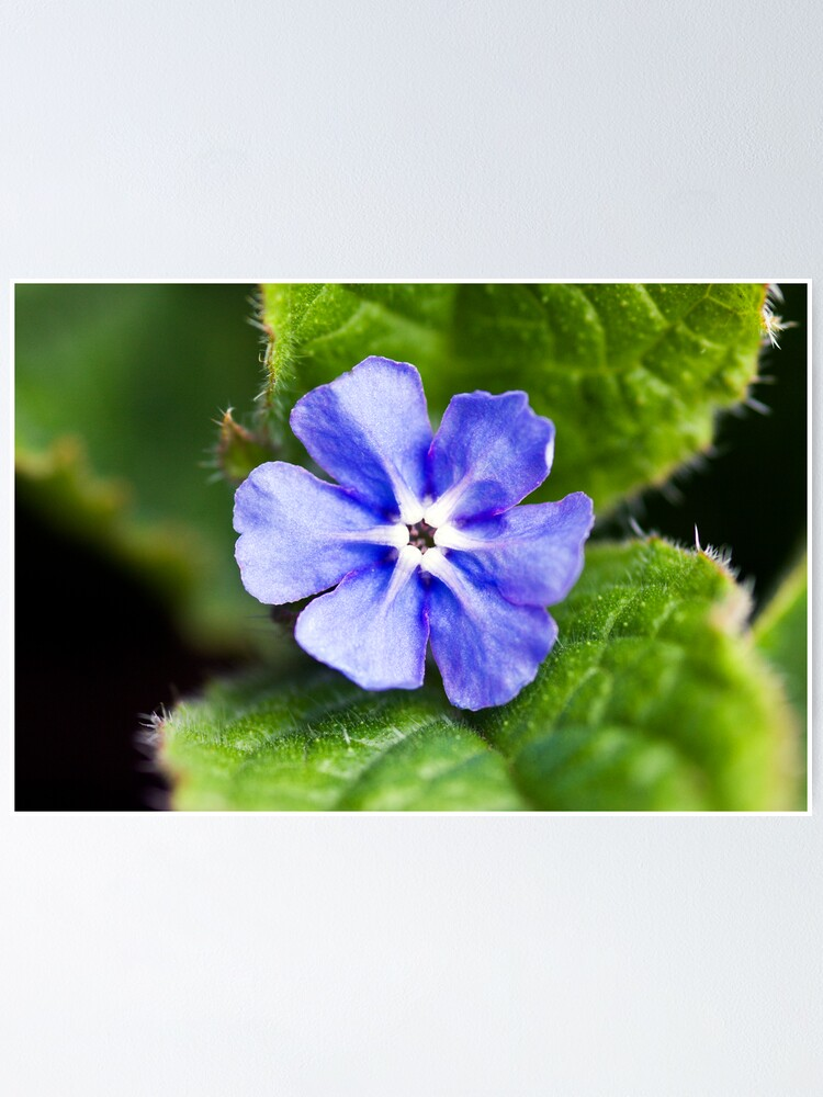 Alternate view of Green Alkanet (Pentaglottis sempervirens) Poster