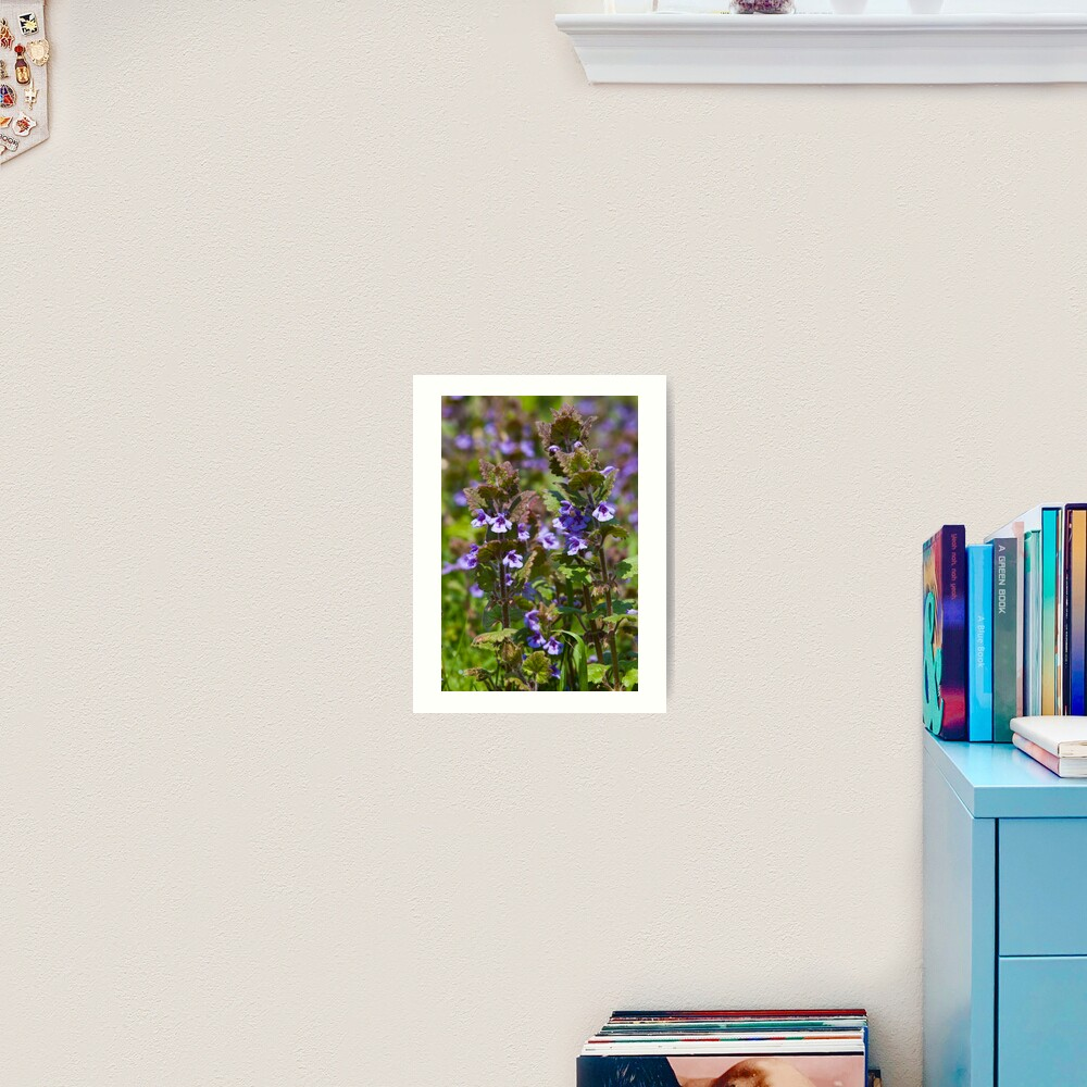 Ground Ivy (Glechoma hederacea) Art Print