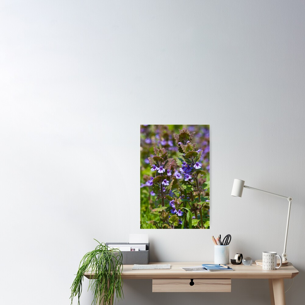 Ground Ivy (Glechoma hederacea) Poster