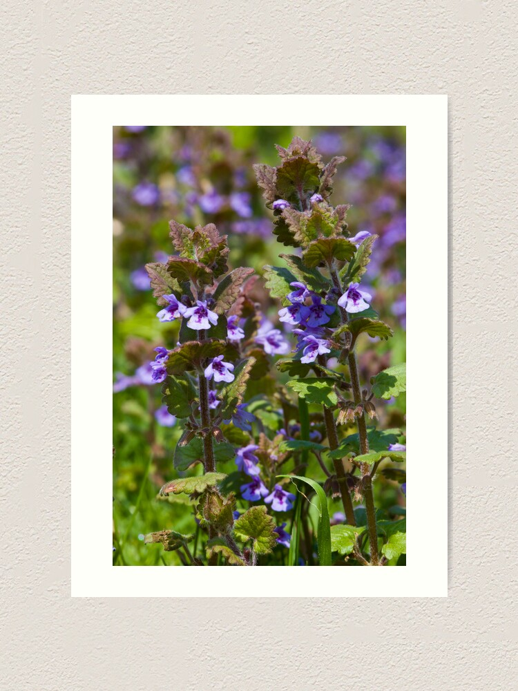 Alternate view of Ground Ivy (Glechoma hederacea) Art Print