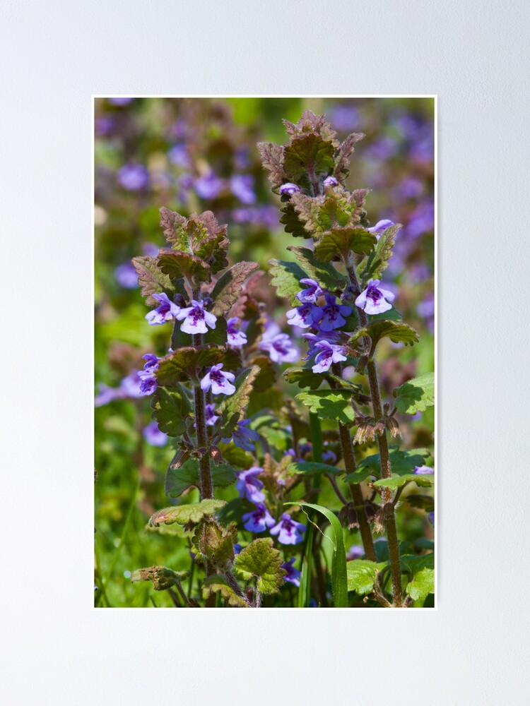 Alternate view of Ground Ivy (Glechoma hederacea) Poster
