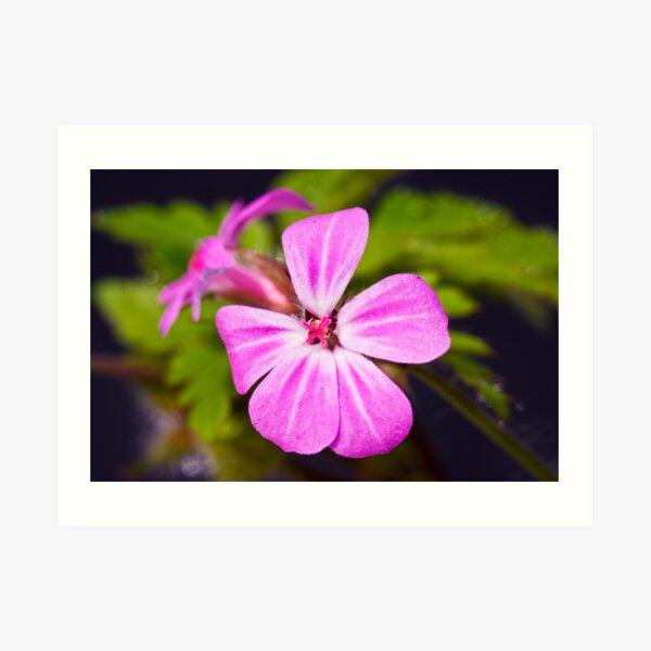 Herb Robert (Geranium robertianum) Art Print