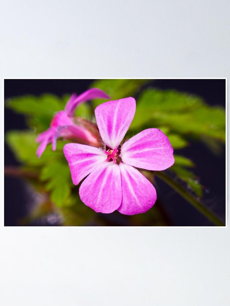 Alternate view of Herb Robert (Geranium robertianum) Poster