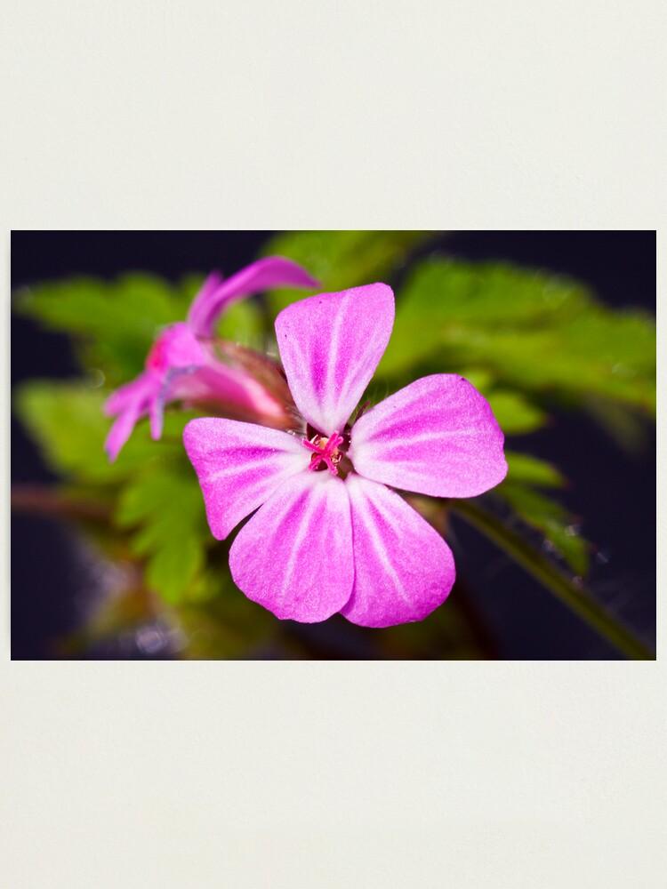Alternate view of Herb Robert (Geranium robertianum) Photographic Print