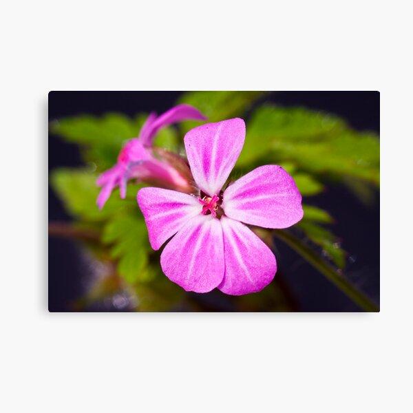 Herb Robert (Geranium robertianum) Canvas Print
