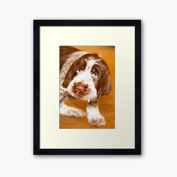 Puppy dog eyes Spinone Framed Art Print