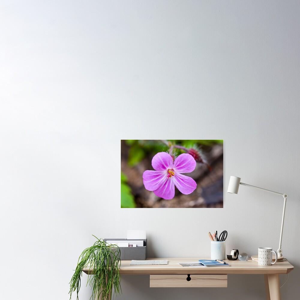 Herb Robert (Geranium robertianum) Poster