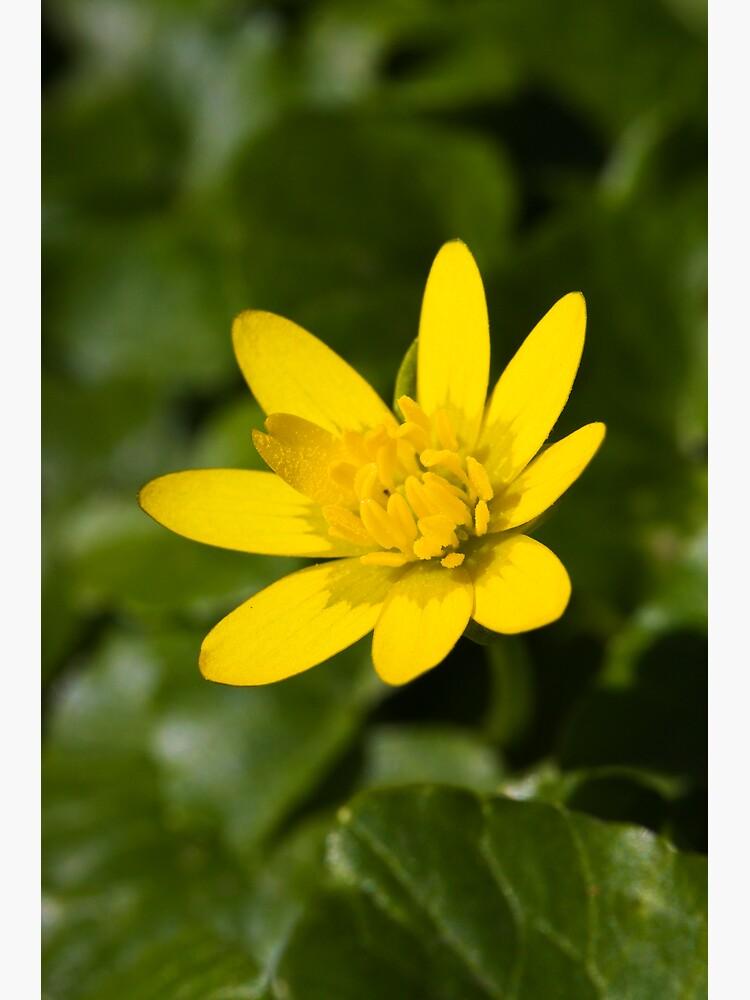 Lesser Celandine (Ranunculus ficaria) by SteveChilton