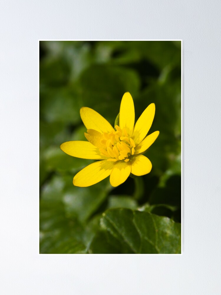 Alternate view of Lesser Celandine (Ranunculus ficaria) Poster