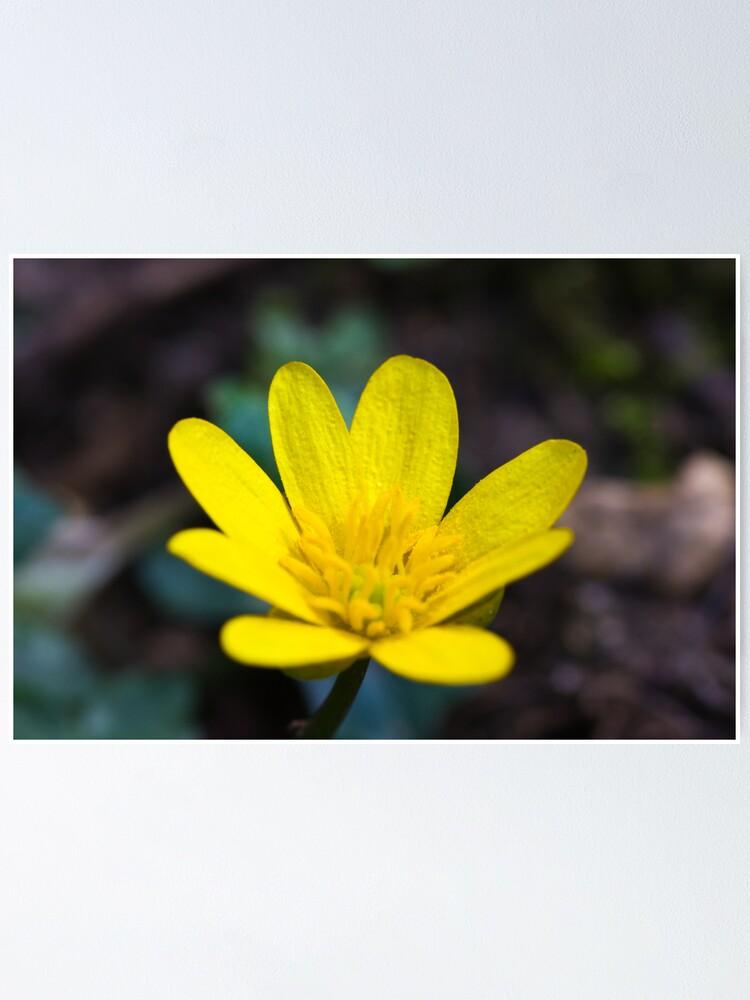 Alternate view of Lesser Celandine (Ranunculus ficaria) Poster