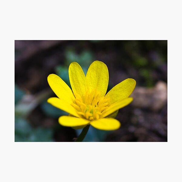Lesser Celandine (Ranunculus ficaria) Photographic Print