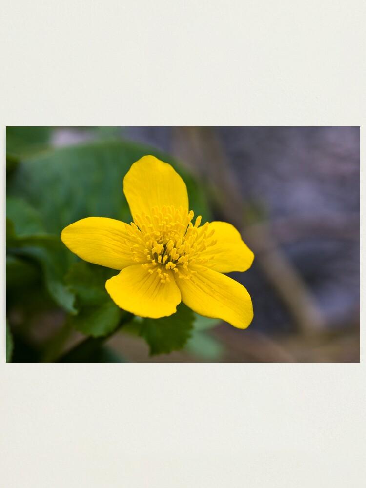 Alternate view of Lesser Celandine (Ranunculus ficaria) Photographic Print