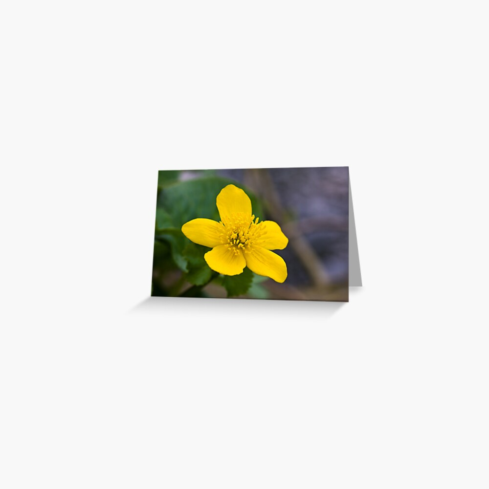 Lesser Celandine (Ranunculus ficaria) Greeting Card