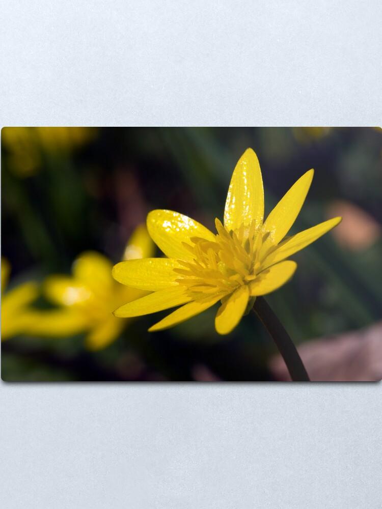 Alternate view of Lesser Celandine (Ranunculus ficaria) Metal Print