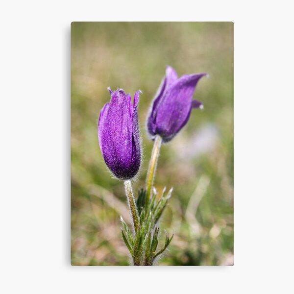 Pasqueflower (Pulsitilla vulgaris) Metal Print