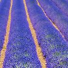Rows Of Lavenders At Luberon Valley France by Susan Dost