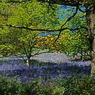 More Bluebells by dougie1