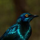Blue Glossy Starling by Deborah V Townsend