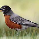 American Robin by mattfossen