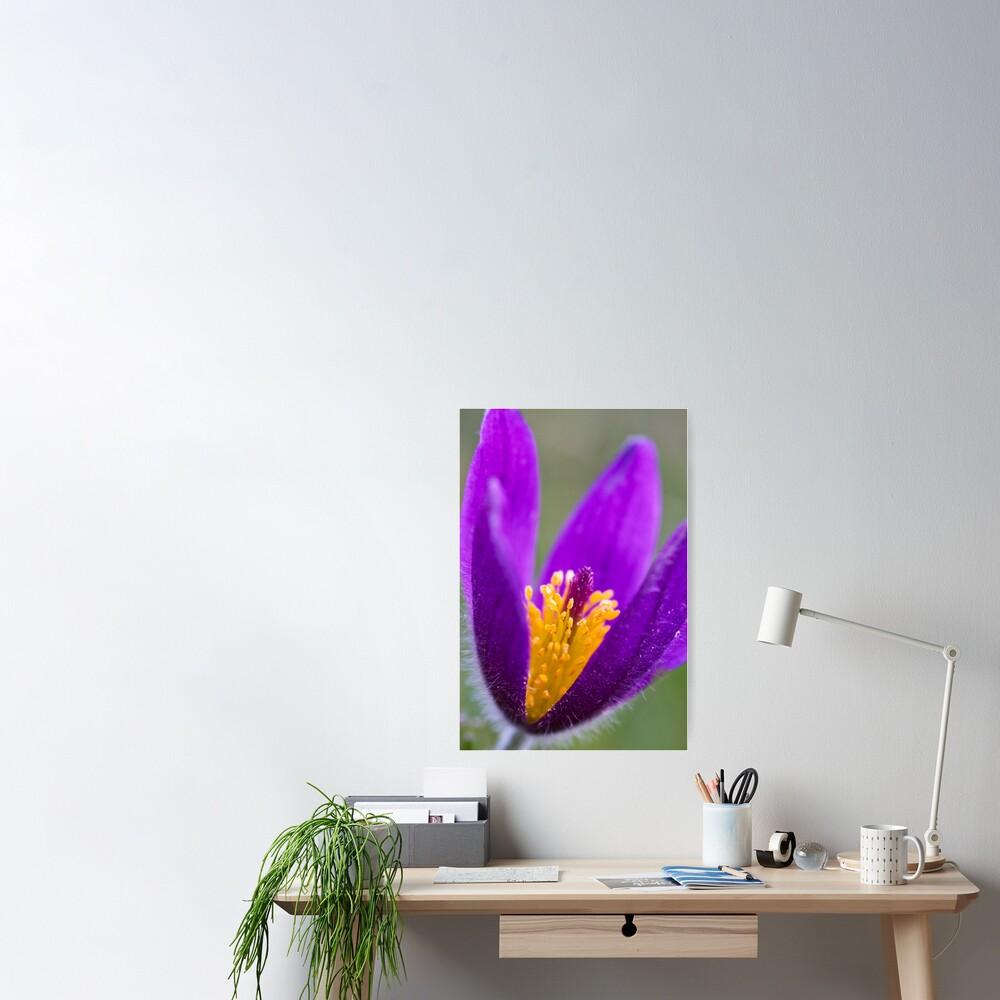 Pasqueflower (Pulsitilla vulgaris) Poster