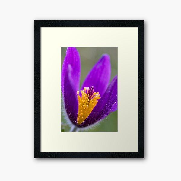 Pasqueflower (Pulsitilla vulgaris) Framed Art Print