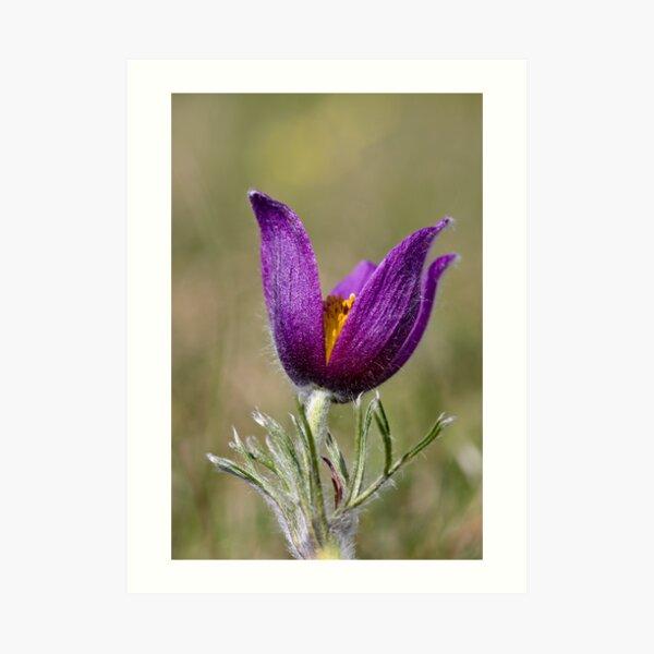 Pasqueflower (Pulsitilla vulgaris) Art Print