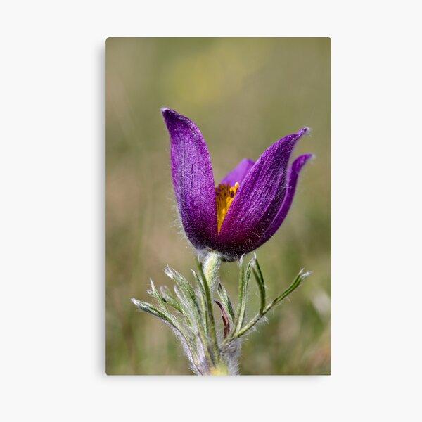 Pasqueflower (Pulsitilla vulgaris) Canvas Print