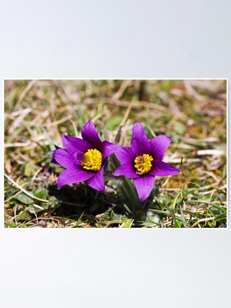 Alternate view of Pasqueflower (Pulsitilla vulgaris) Poster