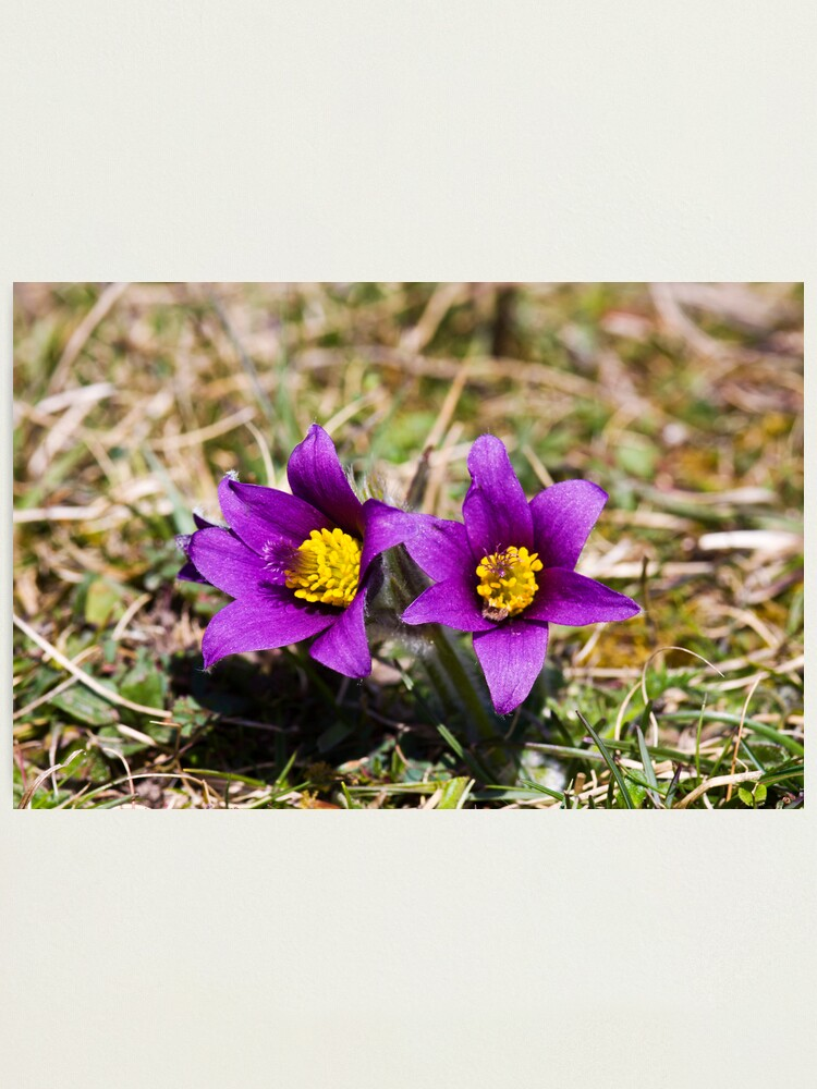 Alternate view of Pasqueflower (Pulsitilla vulgaris) Photographic Print