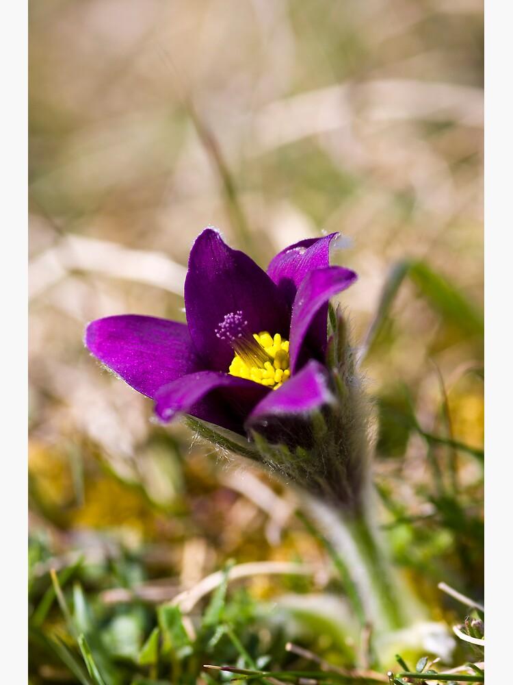Pasqueflower (Pulsitilla vulgaris) by SteveChilton