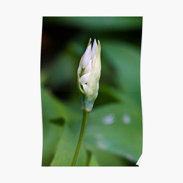 Ramson (Alium Ursinum) Poster
