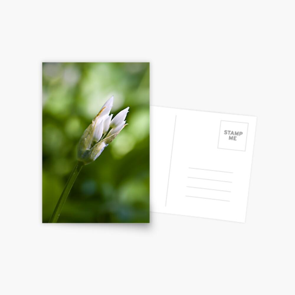 Ramson Bud (Alium Ursinum) Postcard