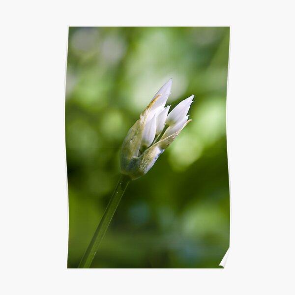 Ramson Bud (Alium Ursinum) Poster