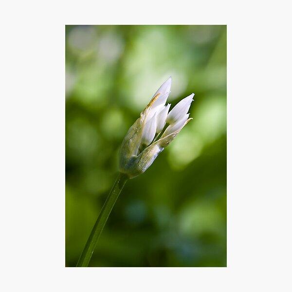 Ramson Bud (Alium Ursinum) Photographic Print